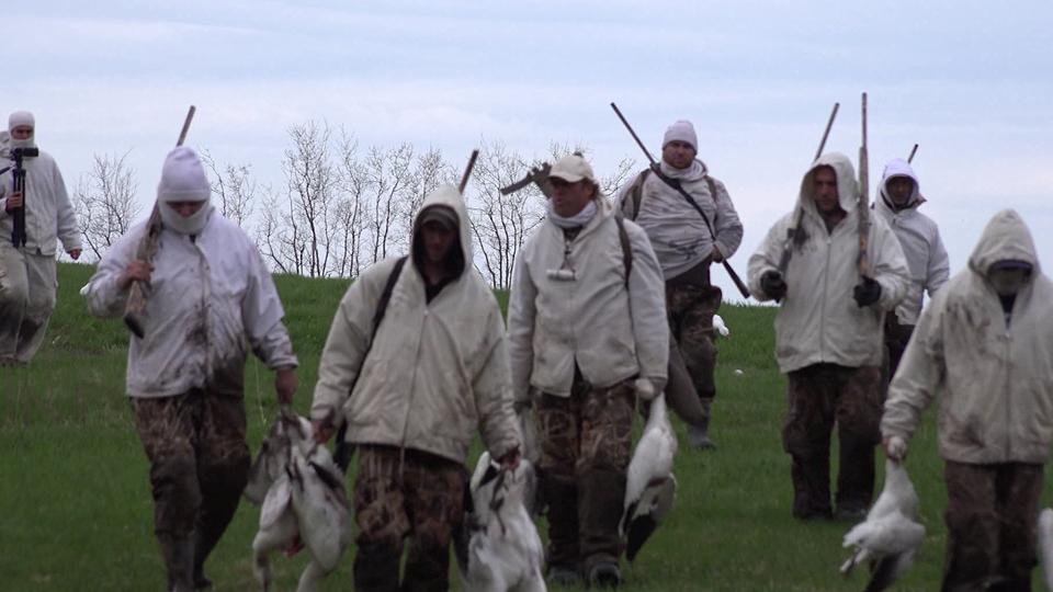 Chasse à l'oie blanche